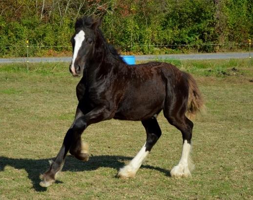 Chestnut Oak Gypsy Vanner Cob Horse Stallion Rosewater