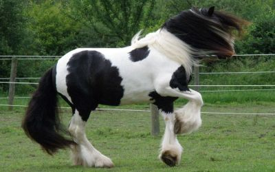 Drums For Sale >> DRUM HORSE GYPSY DRUM HORSES GYPSY SHIRE HORSE BRABANT BELGIAN HORSE ABOUT THE BREEDS CHESTNUT ...